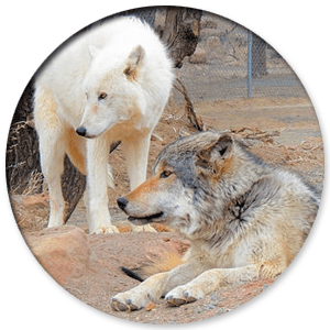 wolf-sanctuary