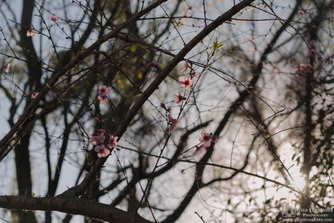 Flores de Duraznero, Reserva Ecológica - Ciudad de Buenos Aires (CABA) - Distancia Focal: 50mm