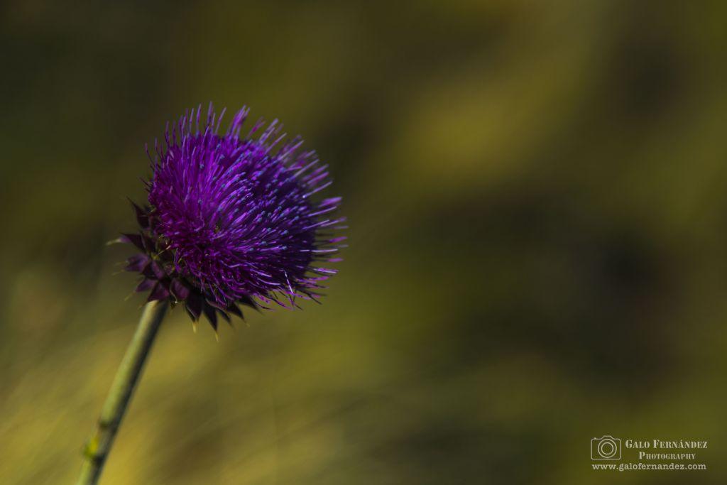 Flor de Cardo, Altas Cumbres - SL