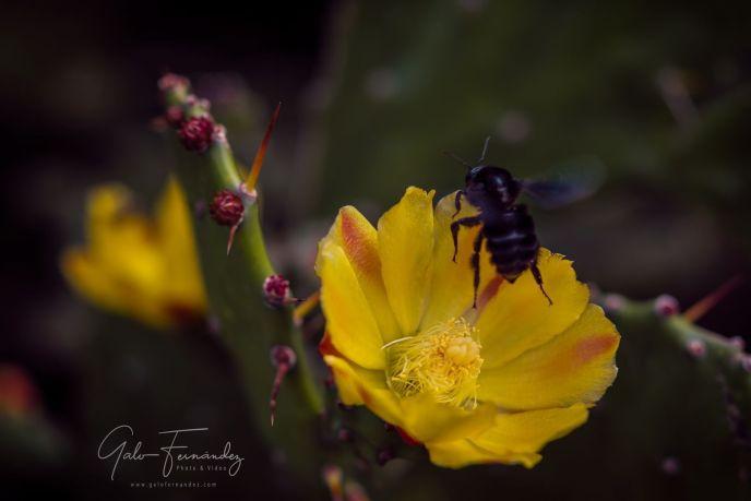 Cactus Amarillo (Opuntia Monacantha), Colonia del Sacramento - UY