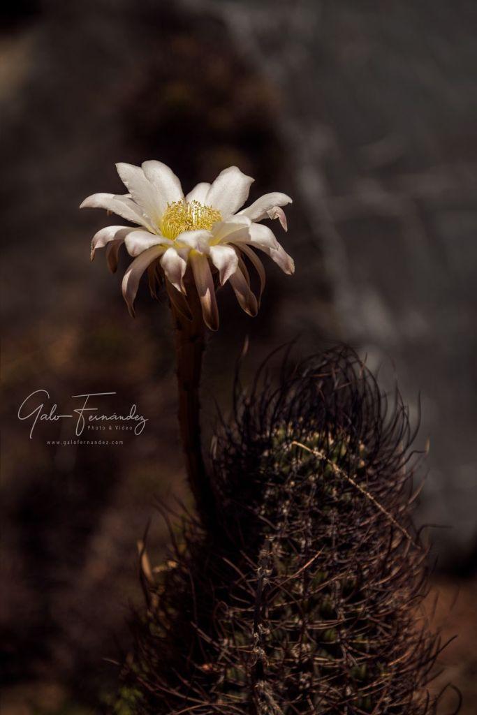 Flor de Cactus Blanca - San Juan - SJ