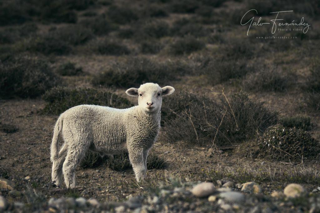 Pequeño Cordero en la meseta Patagónica - CH