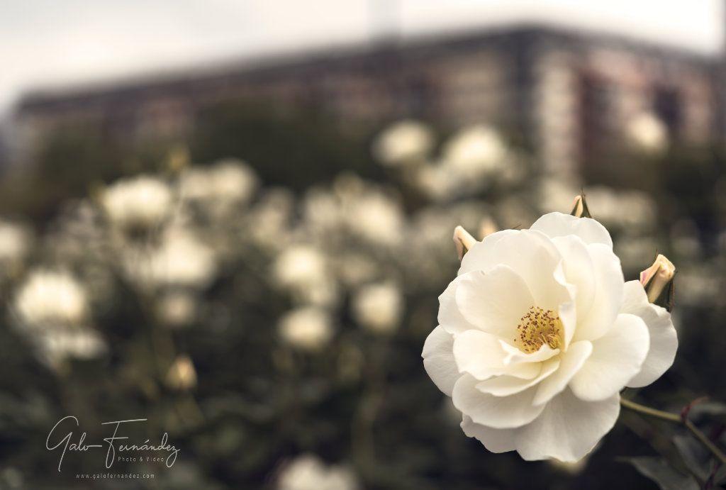 Rosa Blanca en el Rosedal de Puerto Madero - CABA