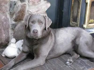 The Issue of the Silver Labrador – galrc com