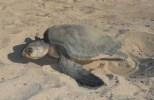 Moma Turtle