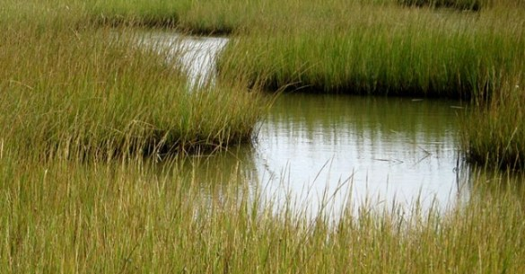 CMR-cordgrass marsh