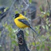 Audubon's Oriole on stick.jpgs