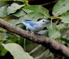 Blue-gray Tanager s