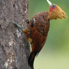Cheasnut-colored Woodpecker s