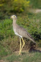 Double-striped Thick-knee s