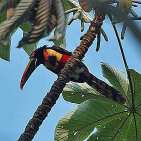 Fiery-billed Aracari.s