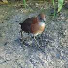 White-throated Crake s