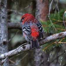 Pine Grosbeak m 1.jpgs