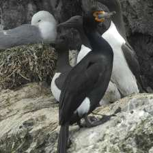 RF Cormorant ad s