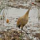 Sandhill Crane w chick s