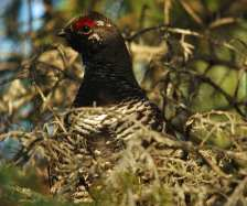 Spruce Grouse m in tree