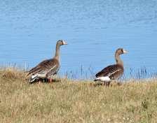 WF Geese pr.jpgs