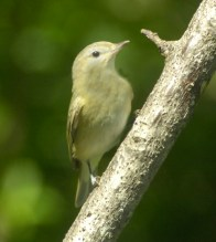 Bell's Vireo 4-26-10 HH s - Copy