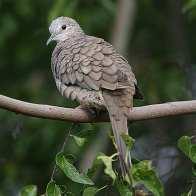 Inca Dove - Copy