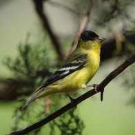 Lesser Goldfinch m 1.jpgs - Copy