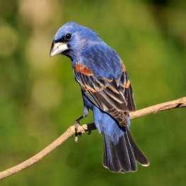 Blue Grosbeak m 1 s