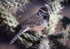 Cactus Wren a.jpgs
