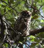 Spotted Owl 1.jpgs