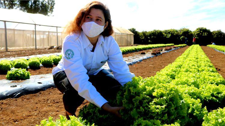 Gama: campeão no cultivo de alface