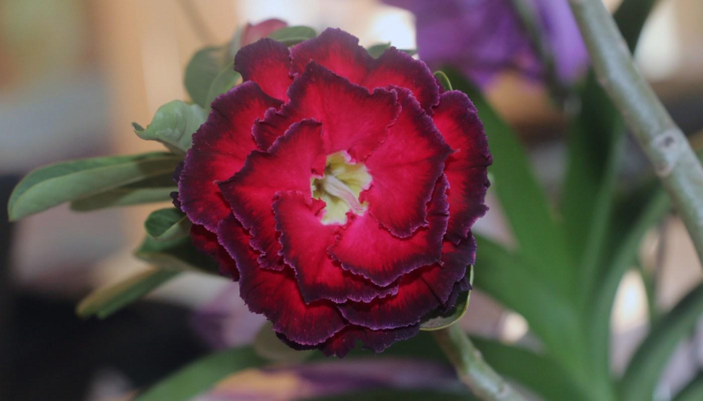Rosas do deserto ganham popularidade nos lares brasileiros