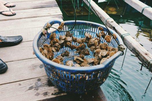 Junge Austern
