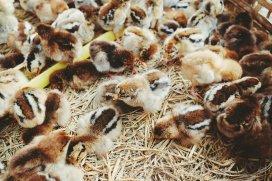 Hühnerküken zum Verkauf