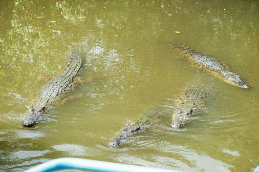 Krokodile folgen uns