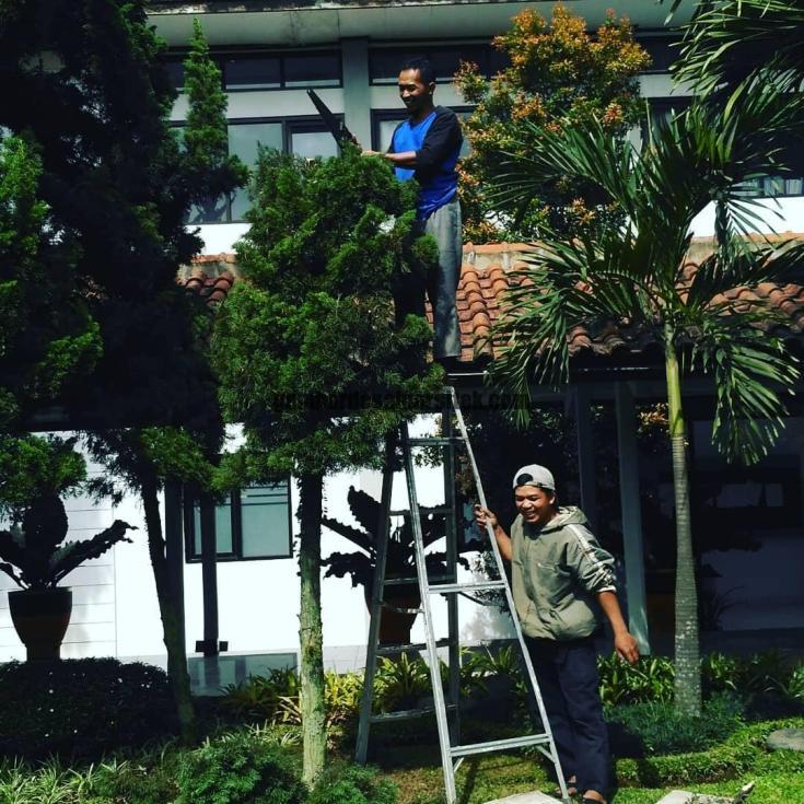 Jasa Taman di Bandung Pemangkasan dan Perawatan Pohon Cemara 2