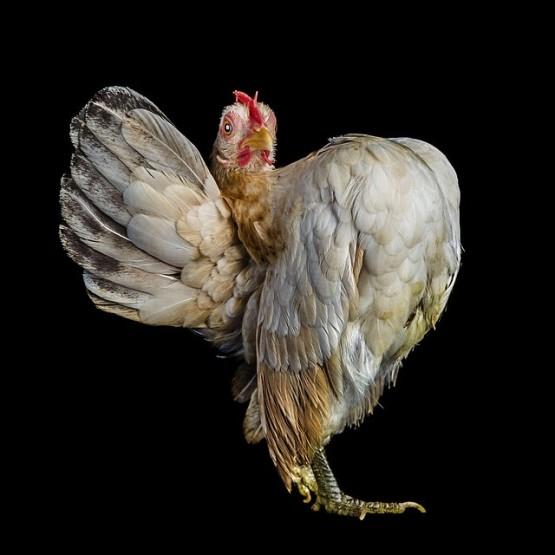 6 Foto Gambar Hewan Lucu Pada Kontes Kecantikan Ayam  GambarGambarco
