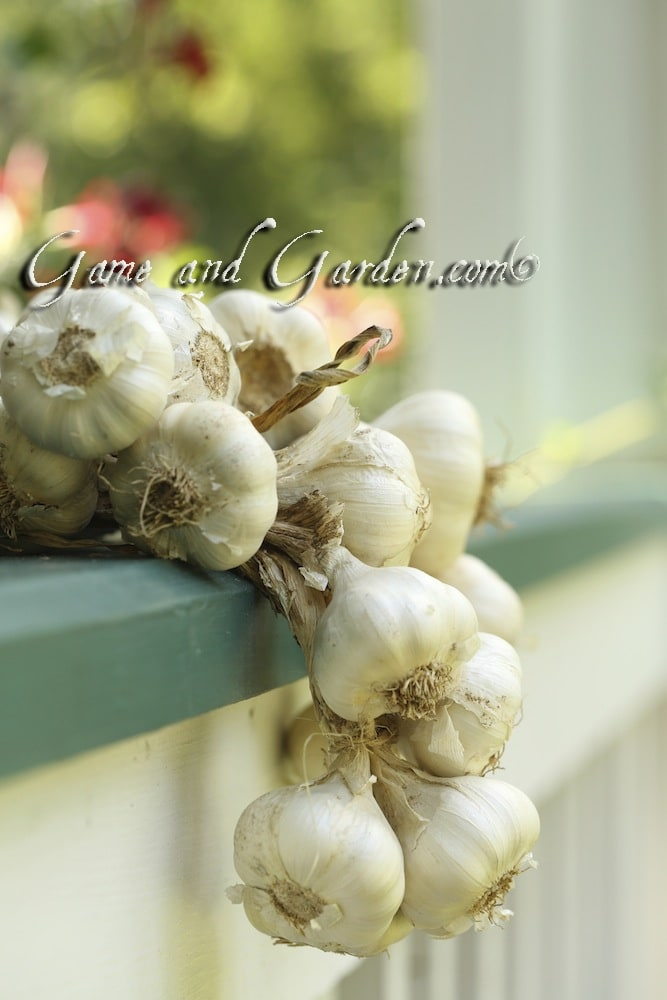 Growing Garlic, the Vegetable With a Bite