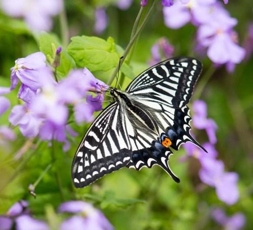 2 Photos<br />Common Name : Asian Swallowtail