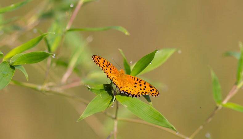 Common Name : Indian Fritillary ; Scientific Name : Argynnis hyperbius ; Chinese Name : 黑端豹斑蝶 / Hēi duān bào bān dié ; Location : Wuyuan, Jiangxi