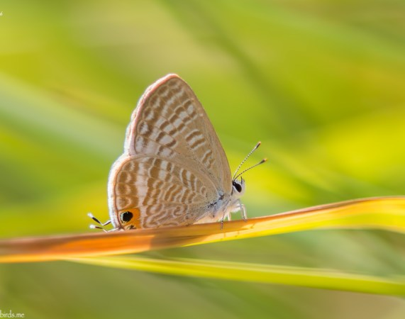 2 Photos<br />Common Name : Long-tailed Blue or Pea Blue