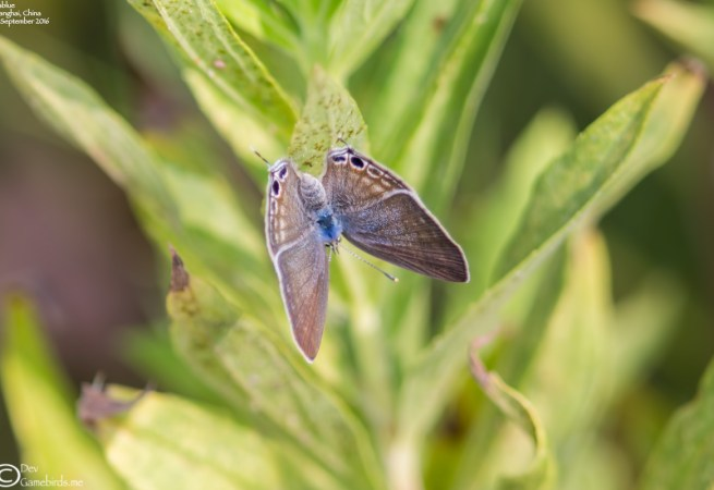 Common Name : Long-tailed Blue or Pea Blue ; Scientific Name : Lampides boeticus ; Chinese Name : 波纹小灰蝶 / Bōwén xiǎo huī dié ; Location : Shanghai