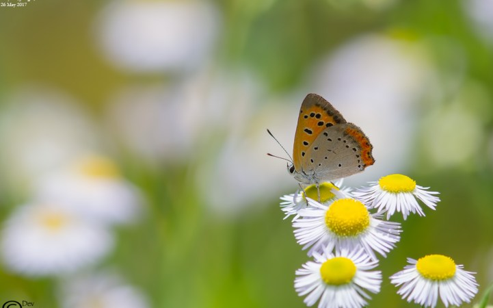 Common Name : Small Copper ; Scientific Name : Lycaena phlaeas ; Chinese Name : 红灰蝶 / Hóng huī dié ; Location : Wuyuan, Jiangxi