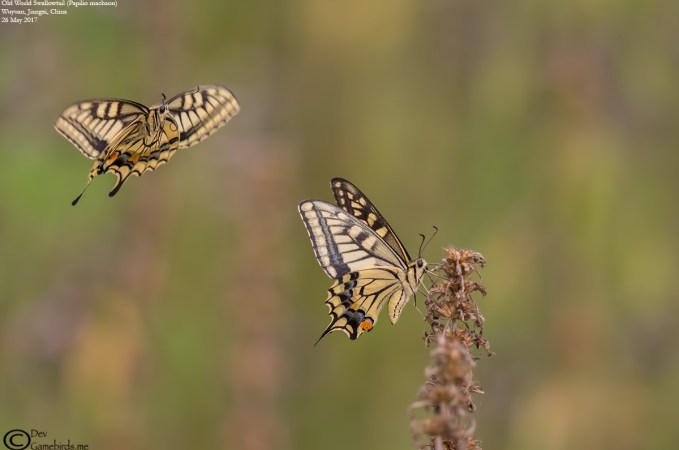 3 Photos<br />Common Name : Old World Swallowtail