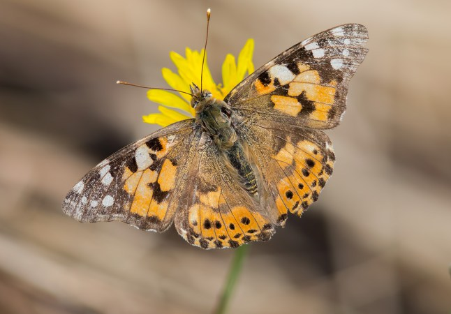 3 Photos<br />Common Name : Painted Lady