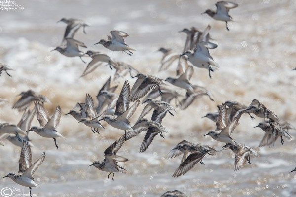 Sanderling Flock at Nanhui
