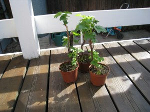 solbærbuske - Ribes nigrum