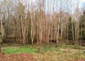 Poppelfældning i skovhaven