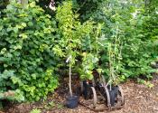 Træplantning