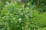 Odlingsvärda plantor