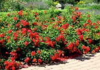 Carpet Roses  Gammon's Garden Center & Landscape Nursery