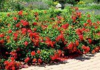 Carpet Roses  Gammon's Garden Center & Landscape Nursery