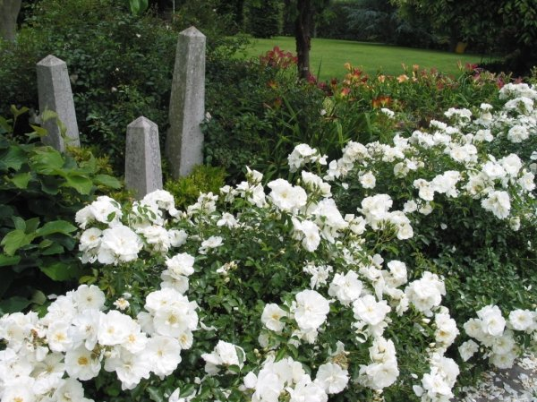 carpet roses gammon's garden